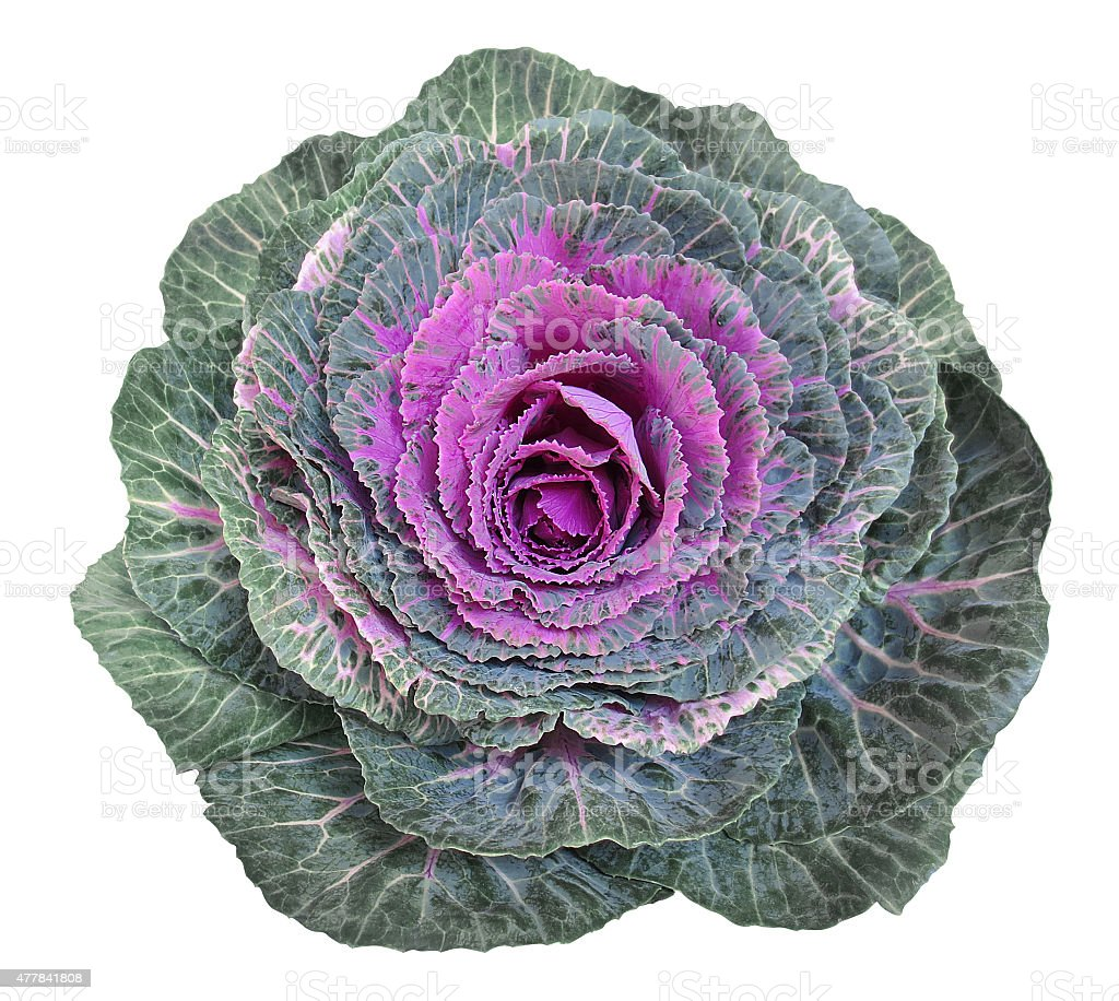 Cabbage flowers stock photo