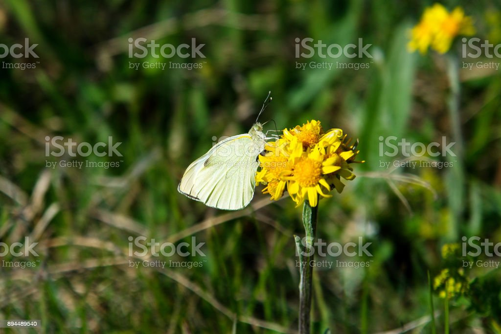 Cabbage garden white butterfly on a flower stock photo