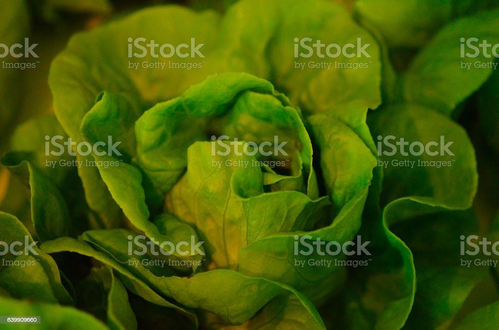 cabbage, genus Brassica stock photo