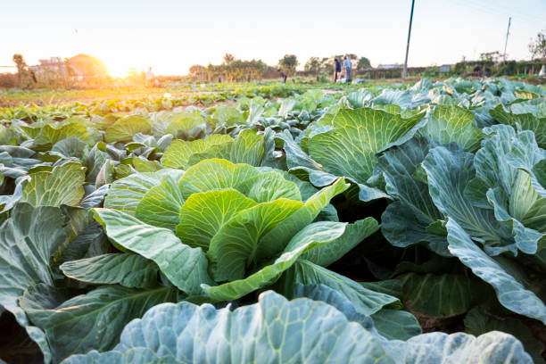 cabbage grow in the field stock photo