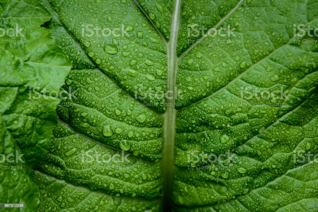 Cabbage leaf in the garden stock photo