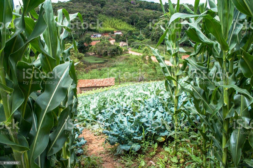 Cabbage, lettuce and corn field stock photo