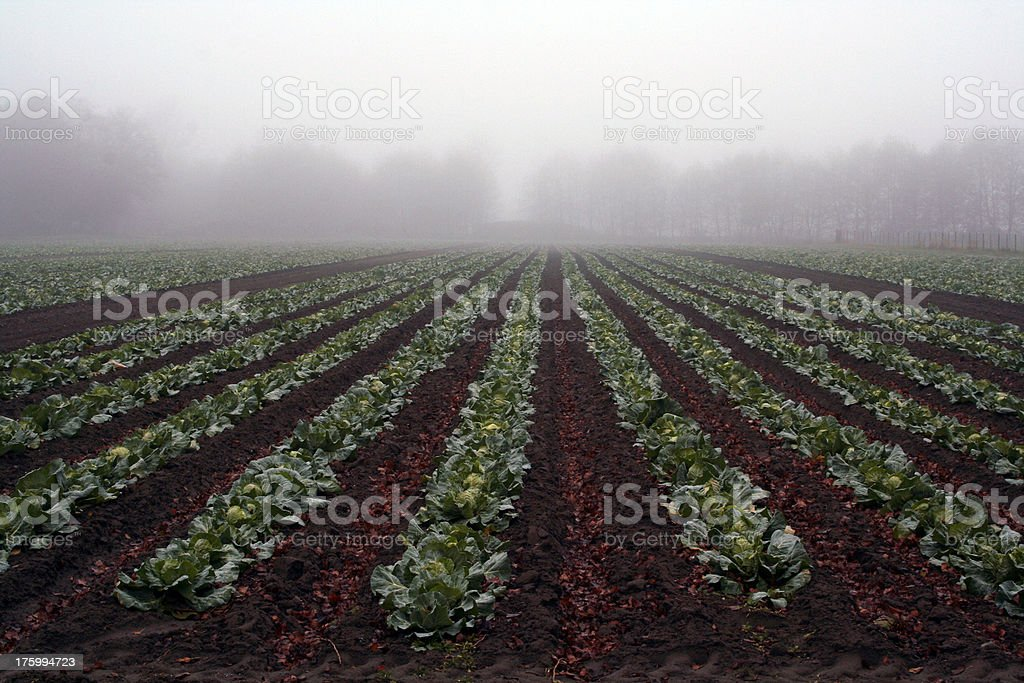 Cabbage Patch royalty-free stock photo