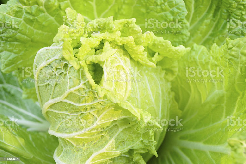 cabbage royalty-free stock photo