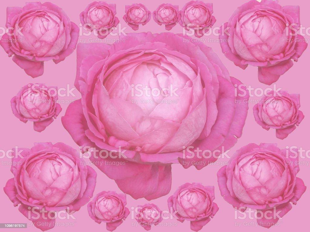キャベツのピンクのバラ古い庭園のバラセンチフォリアバラ ローズ