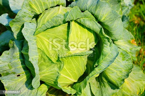 Soft focus of Big cabbage in the farm