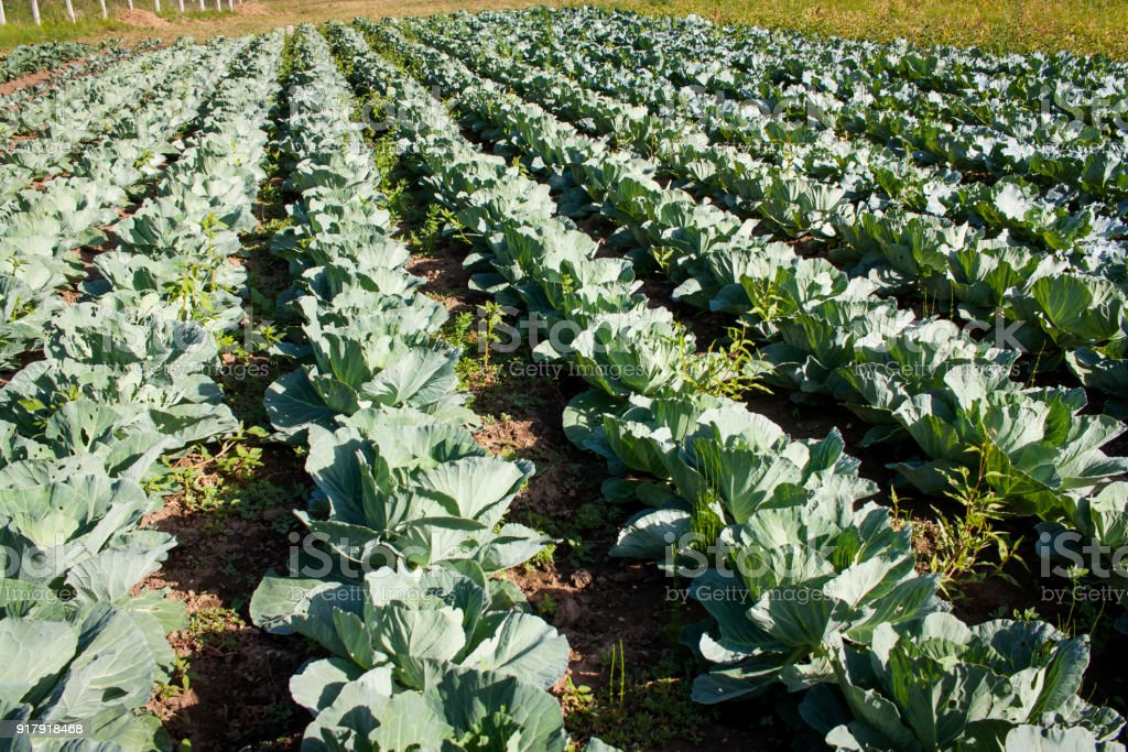 Cabbage plants stock photo