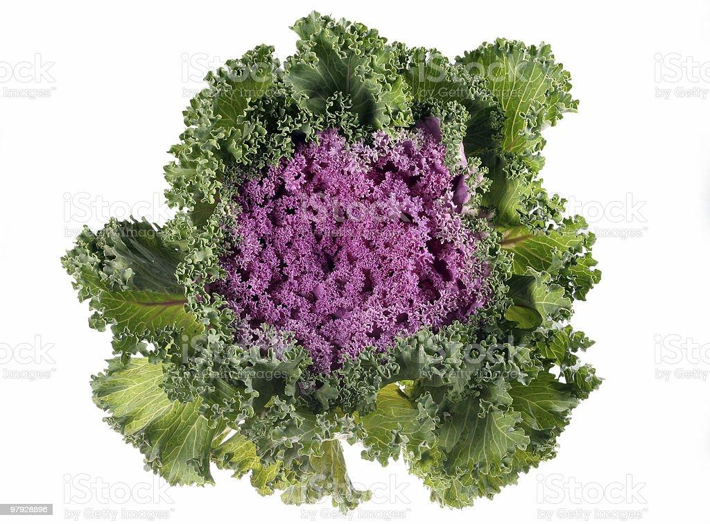 Cabbage purple royalty-free stock photo