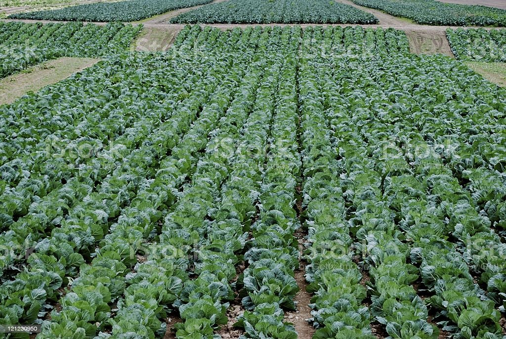 Cabbage Rows royalty-free stock photo