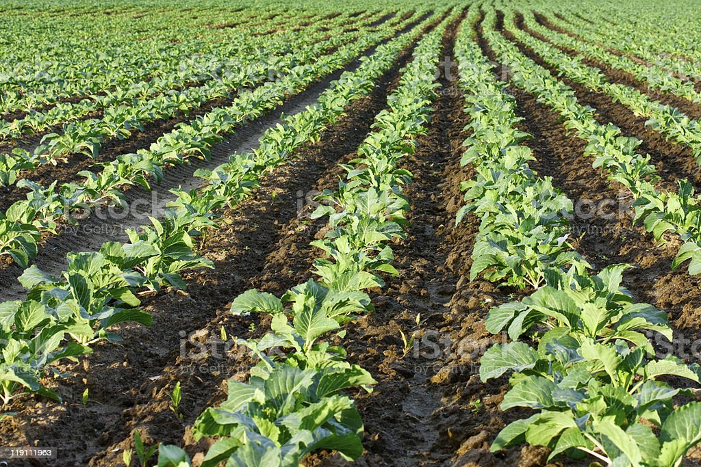 Cabbage seedlings field royalty-free stock photo