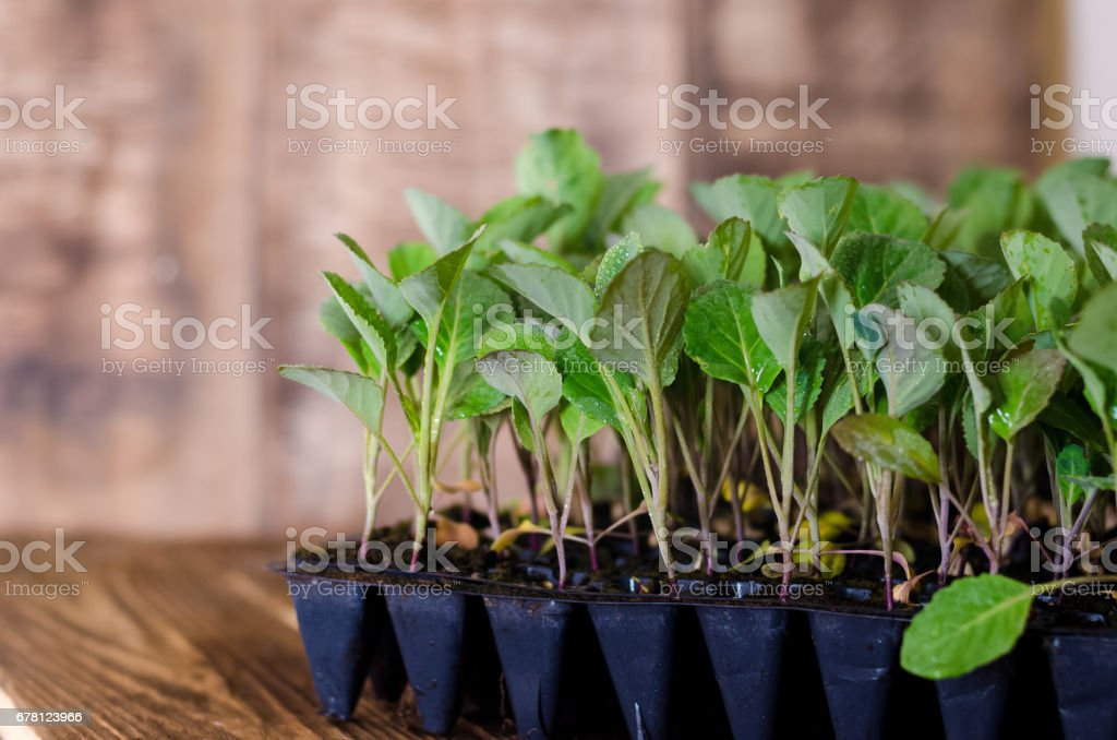 Cabbage seedlings in plastic tray, organic farming, seedlings growing in greenhouse. stock photo