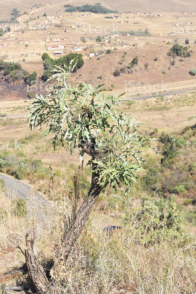Cabbage Tree in Royal Natal National Park, South Africa royalty-free stock photo