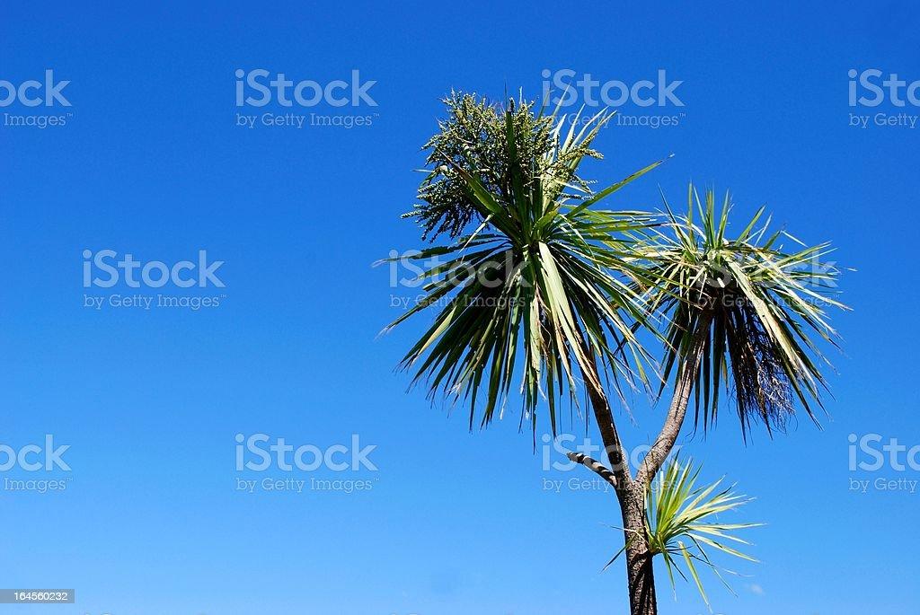 Cabbage Tree (Cordyline Australis), New Zealand stock photo