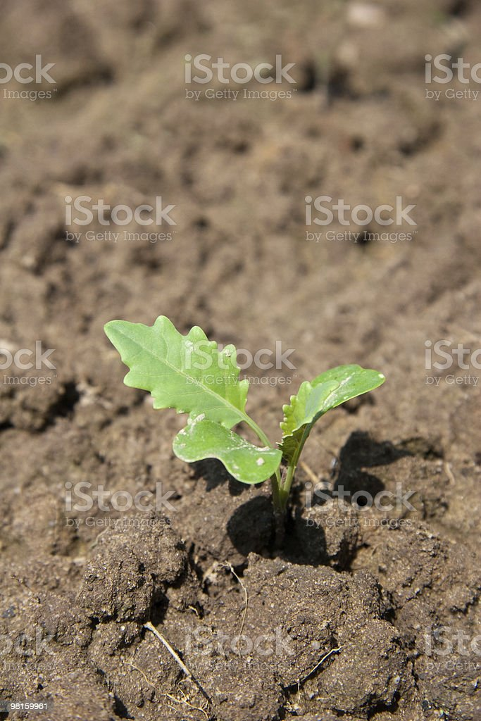 cabbage turnip royalty-free stock photo