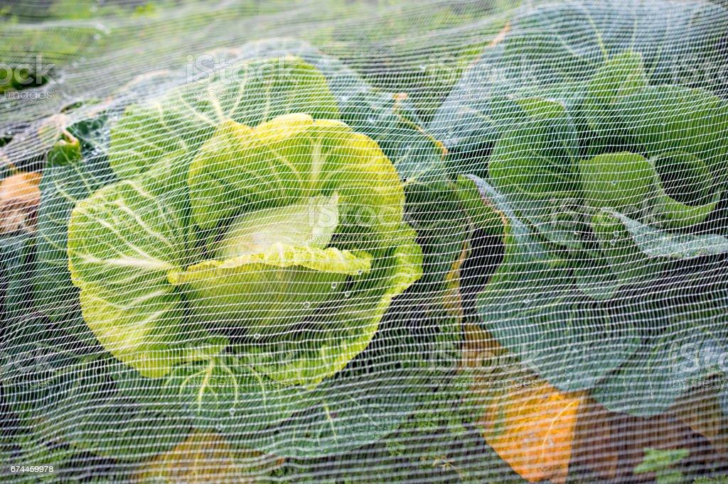 Cabbage under net farm closeup stock photo