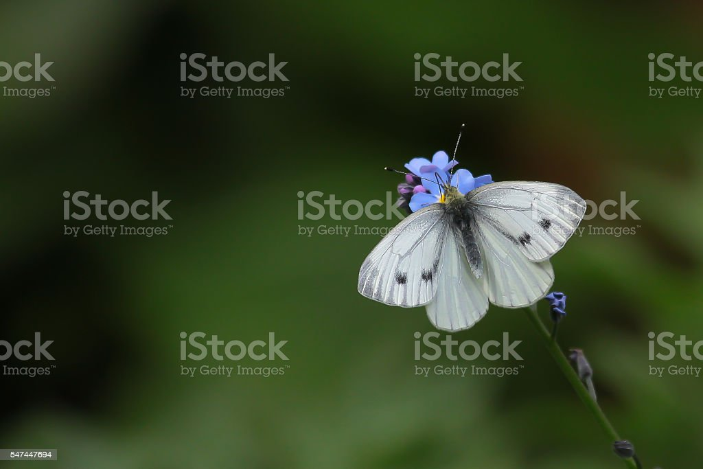 Cabbage white butterfly in front of a green background stock photo