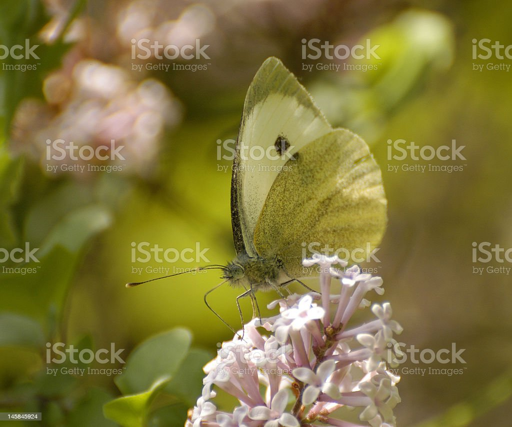 Cabbage White Butterfly (Pieris rapae) in the Provence stock photo
