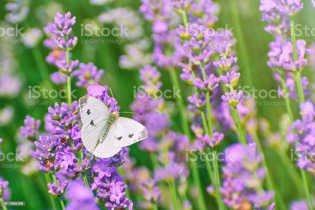 Cabbage White Butterfly stock photo