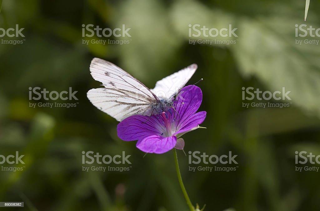Farfalla di cavolo cappuccio bianco foto stock royalty-free