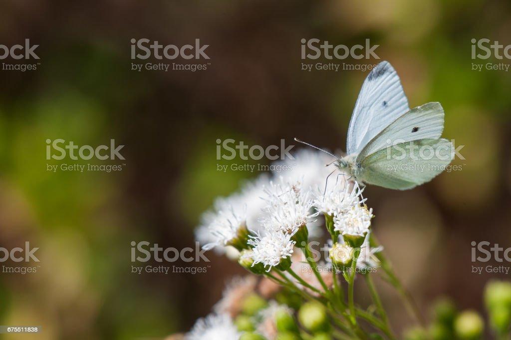 Lahana beyaz kelebek Tozlaşmayı beyaz çiçekler royalty-free stock photo