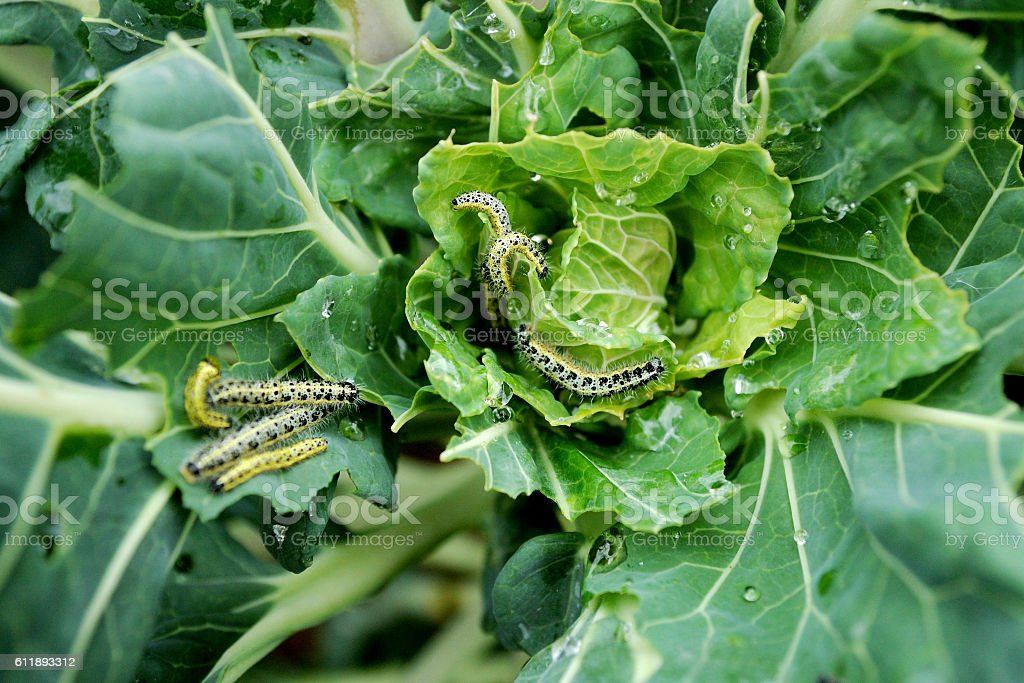 cabbage white caterpillars - foto de acervo