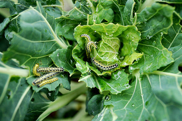 cabbage white caterpillars large group of cabbage white caterpillars on a vegetable pest stock pictures, royalty-free photos & images