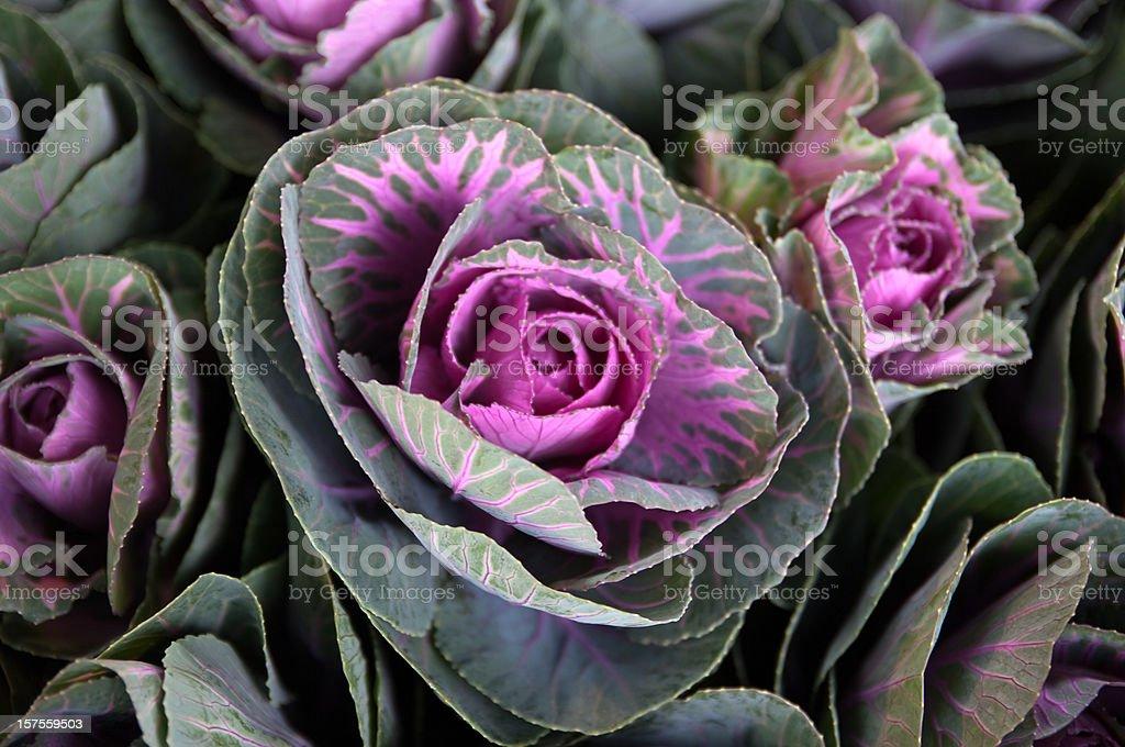 Cabbageflower stock photo