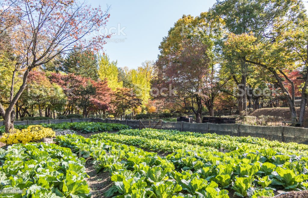 Cabbages growing on Nami Island in South Korea stock photo
