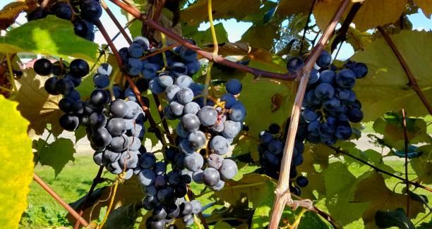 Cabernet Franc Grapes on the Vine, Close Up stock photo