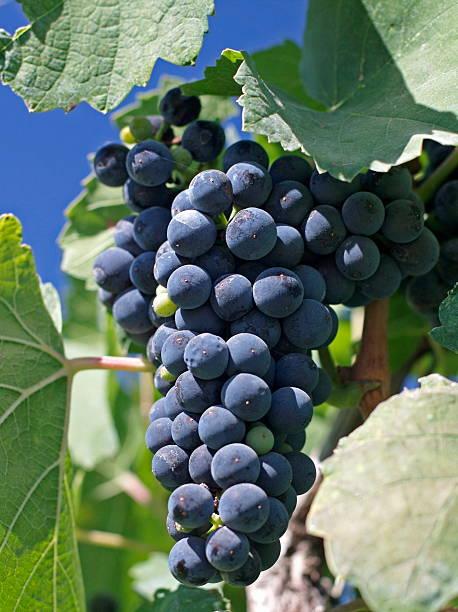 Cabernet Franc Grapes on the Vine