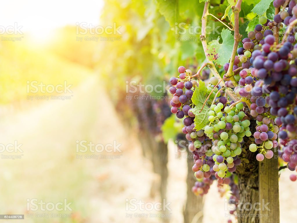 Cabernet sauvignon grapes in a vineyard in Bordeaux stock photo