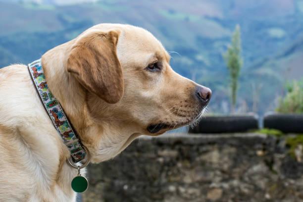 Cabeza de perro Labrador