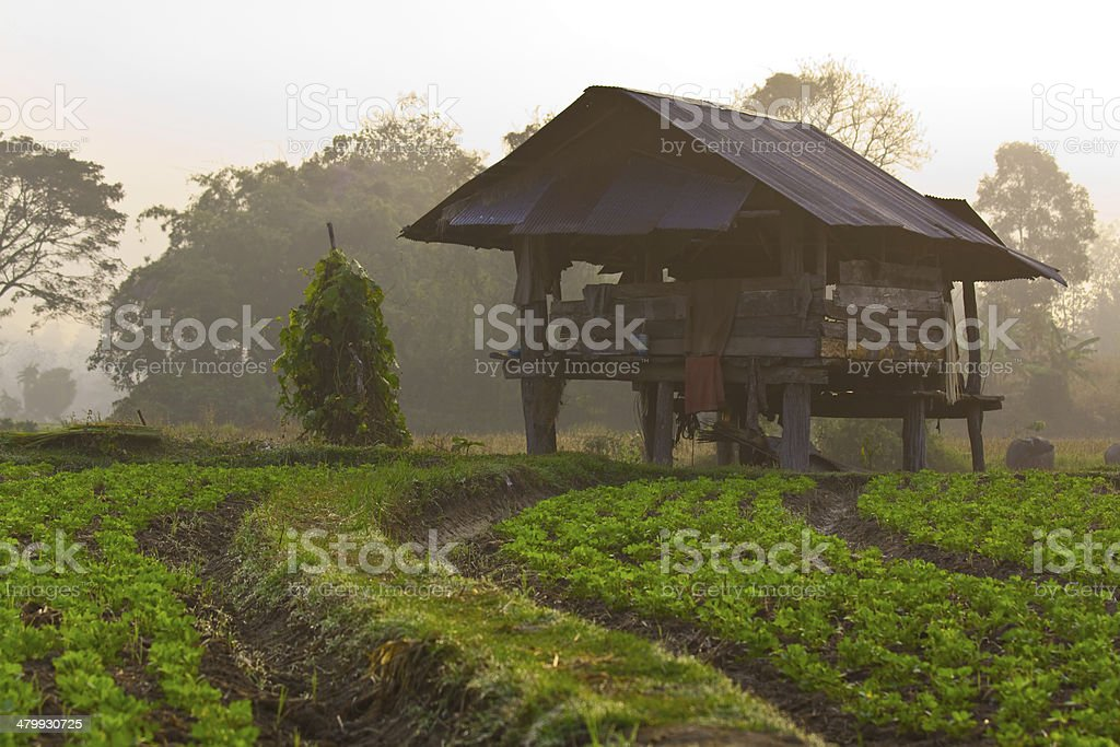 Cabin and peanut farm on morning stock photo