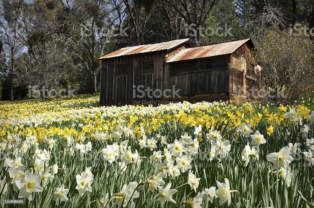 Cabin at Daffodil Hill California royalty-free stock photo