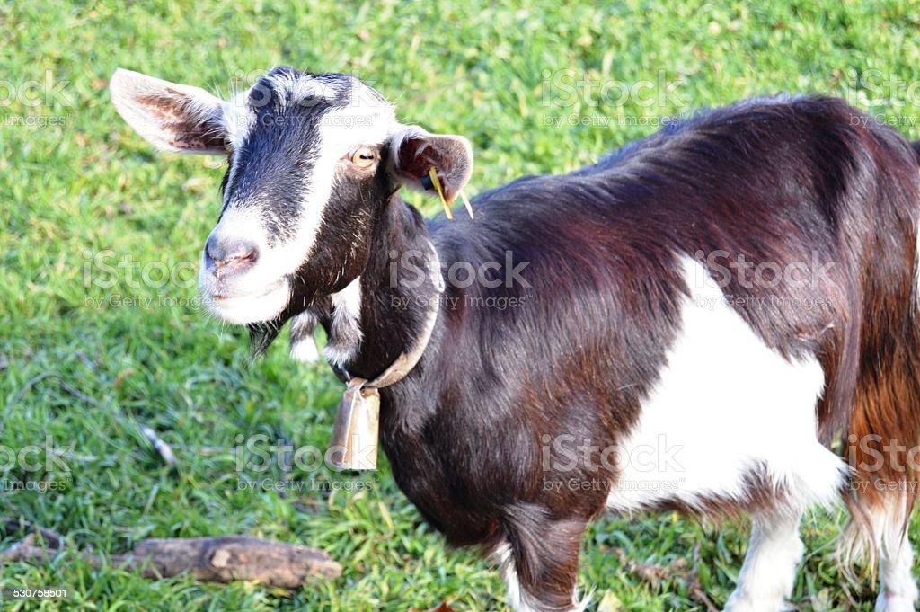 cabra stock photo