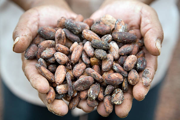 Cacao Beans Cacao beans in the hands of an Ecuadorian farmer. cacao fruit stock pictures, royalty-free photos & images