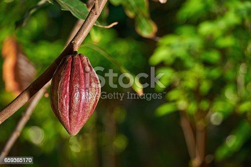 istock Cacao farm plantation 659365170