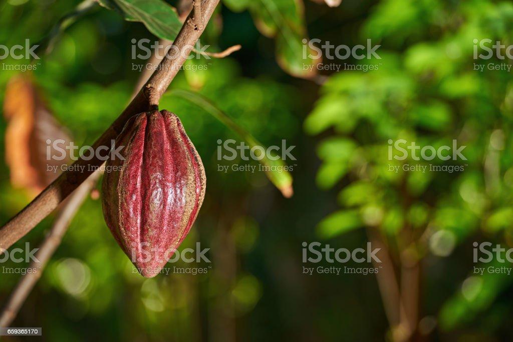 Cacao farm plantation stock photo