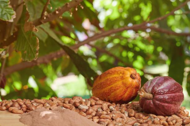 Cacao farm theme stock photo