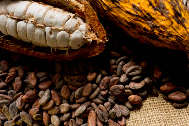 Cacao fruits and nibs Close-up of a composition of cacao fruits and cacao nibs (cocoa beans) on rustic jute tablecloth. Studio photography. Top view. cocoa bean stock pictures, royalty-free photos & images