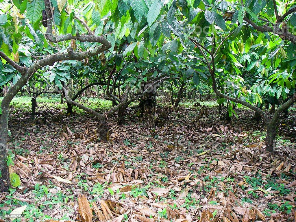 Cacao or Cocoa Bean Plantation trees near La Ceiba Honduras stock photo