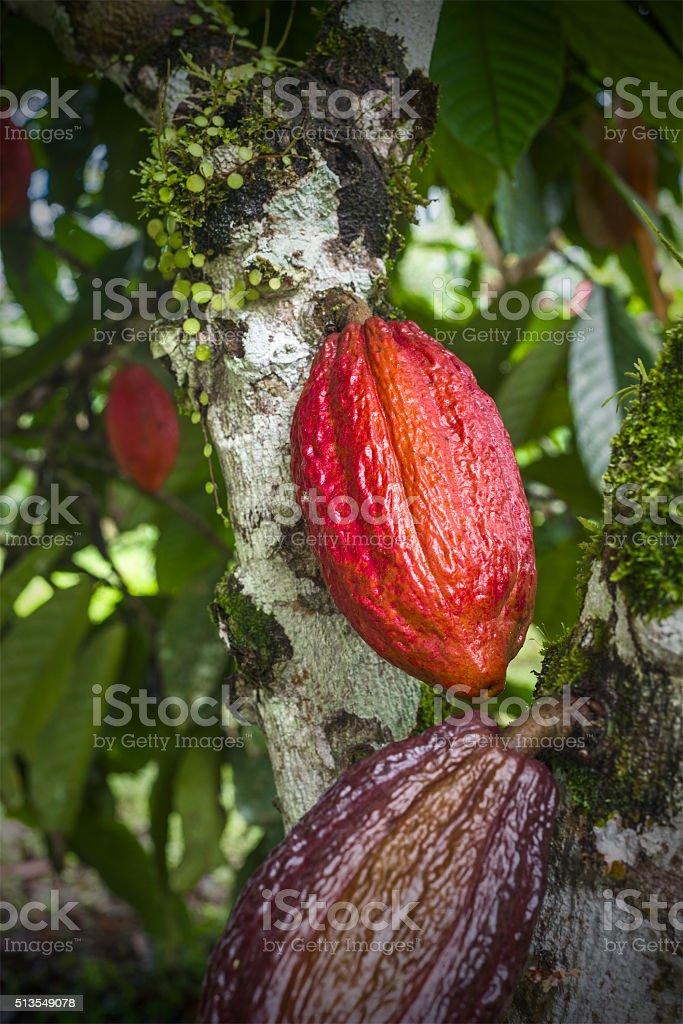 Pianta Di Cacao Con Frutta Fotografie Stock E Altre Immagini Di