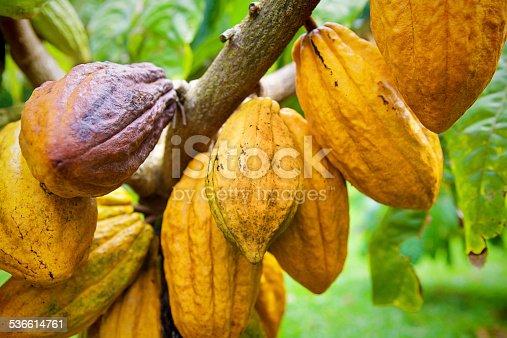 Subject: cocoa pod crop in a farm field.