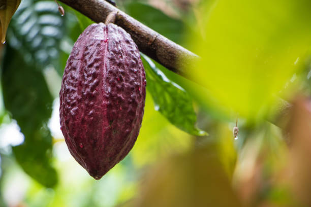 Cacao pod on tree Cacao pod growing on a cacao tree cacao fruit stock pictures, royalty-free photos & images