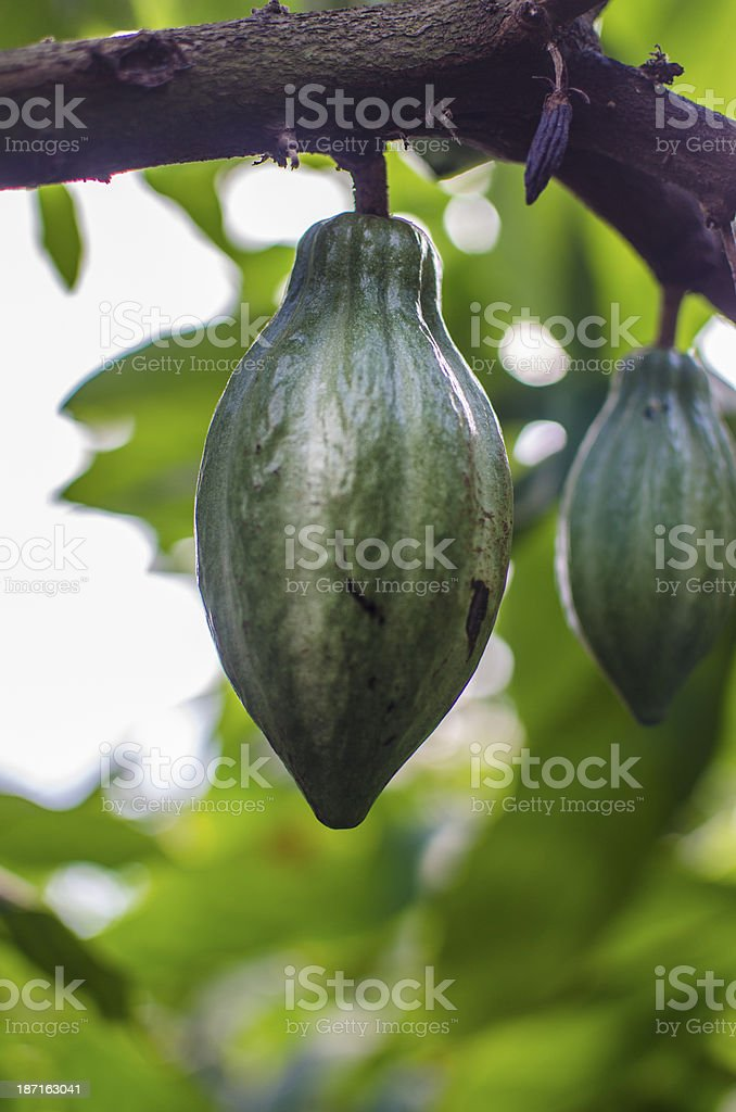 Cacao pods royalty-free stock photo