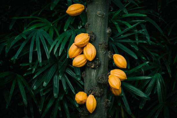 Cacao tree in the tropical greenhouse Cacao tree in the tropical greenhouse theobroma stock pictures, royalty-free photos & images