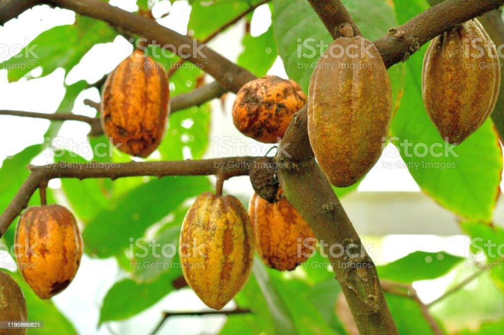 Kakao/Kakaobaum und Obst - Lizenzfrei Blatt - Pflanzenbestandteile Stock-Foto