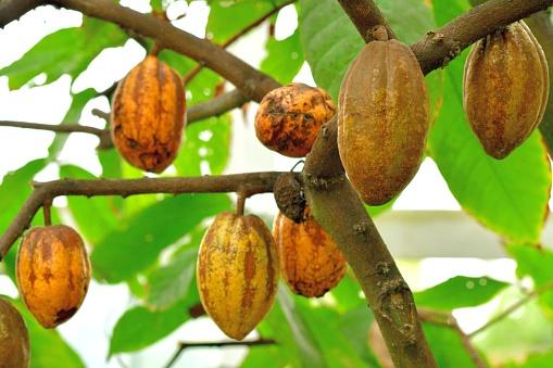 Kakaokakaobaum Und Obst Stockfoto und mehr Bilder von Blatt - Pflanzenbestandteile