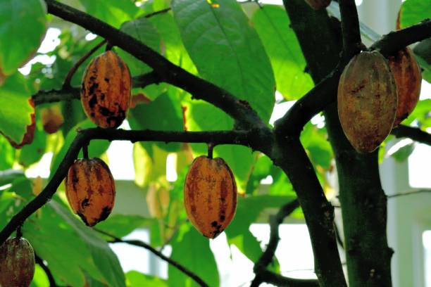 Cacao/Cocoa Tree and Fruit stock photo