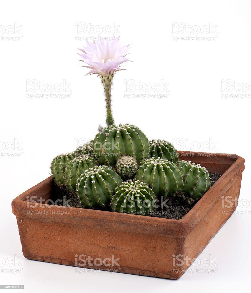 Cactacea-Cactus stock photo